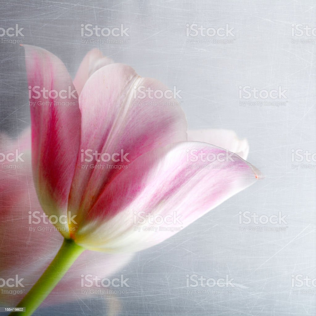Stylized vintage picture of pink tulips royalty-free stock photo