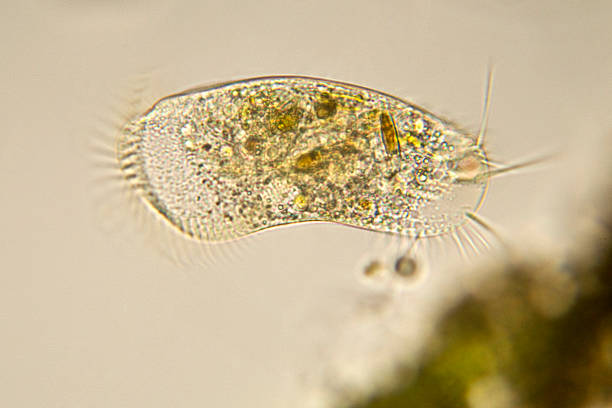 Stylonychia micrograph Photomicrograph of  protozoan stock pictures, royalty-free photos & images