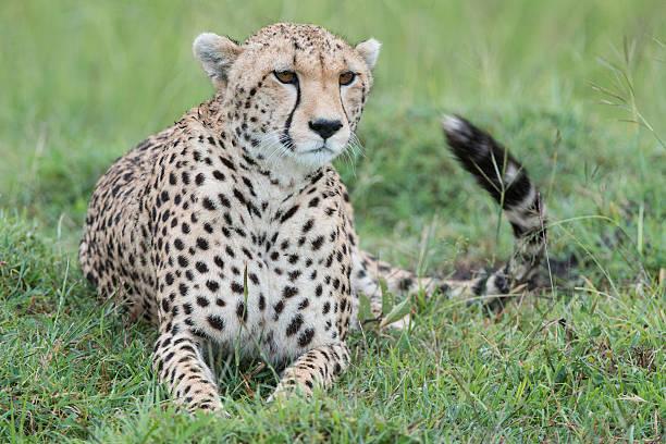 Sub Adult Cheetah stock photo