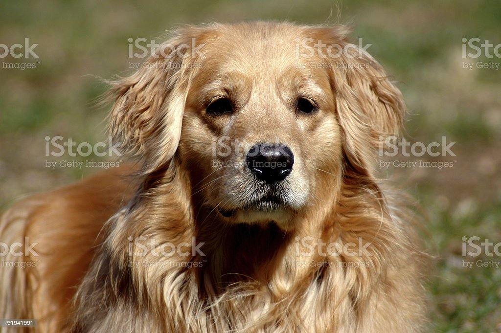 Sublimely Golden royalty-free stock photo