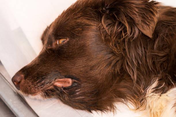 submandibular edema in a dog with severe renal failure stock photo
