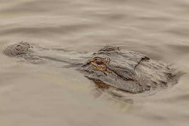 Submerged American Alligator stock photo