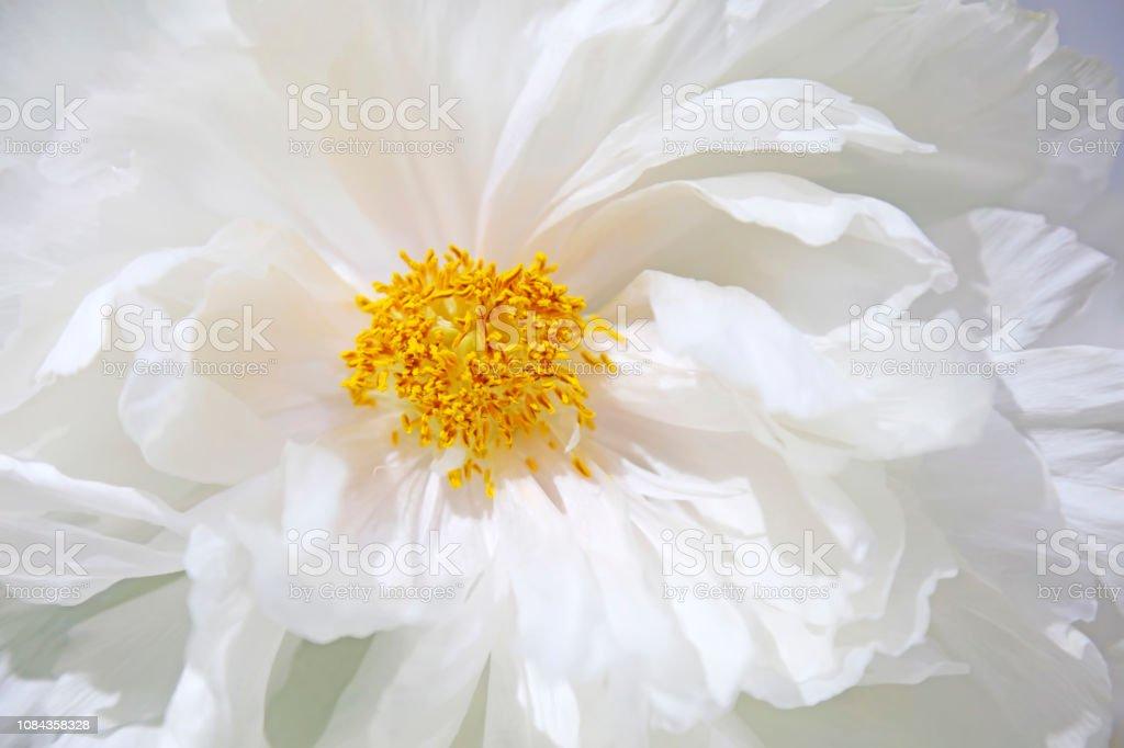 Subshrubby Pfingstrose Blume im Garten – Foto