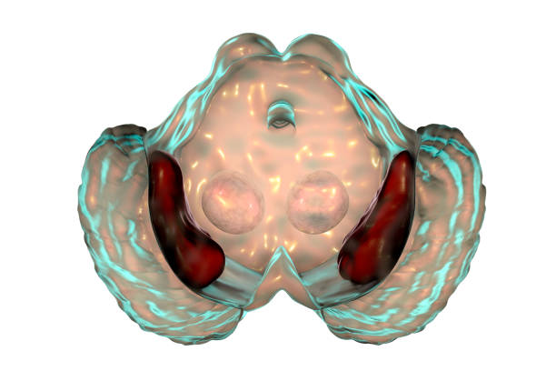Substantia nigra of the midbrain Substantia nigra, 3D illustration. Basal ganglia of the midbrain, regulate movement and reward, degeneration of its dopaminergic neurons are key step in development of Parkinson's disease neurodegeneration stock pictures, royalty-free photos & images