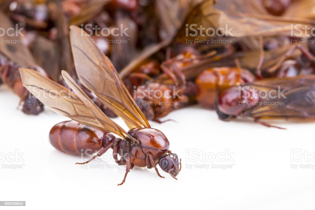 Subterranean ant (Scientific Name is 'Carebara castanea Smith') on white stock photo