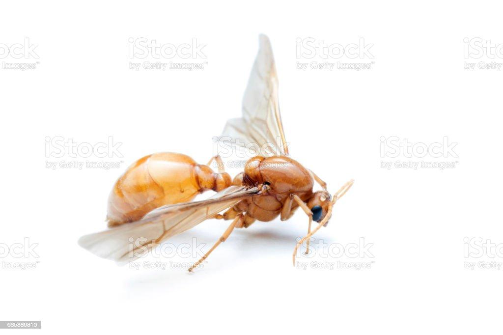 Super Unterirdische Ameisen Fliegende Ameisen Auf Weißem Hintergrund TT41