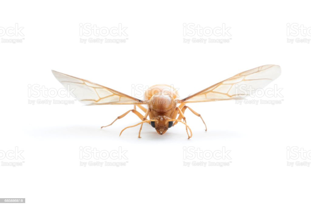 Subterranean ants , Flying ants on white background. stock photo
