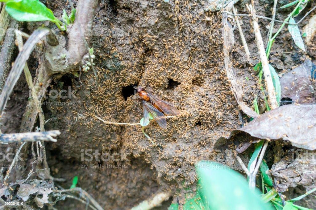 subterranean ants on nest stock photo