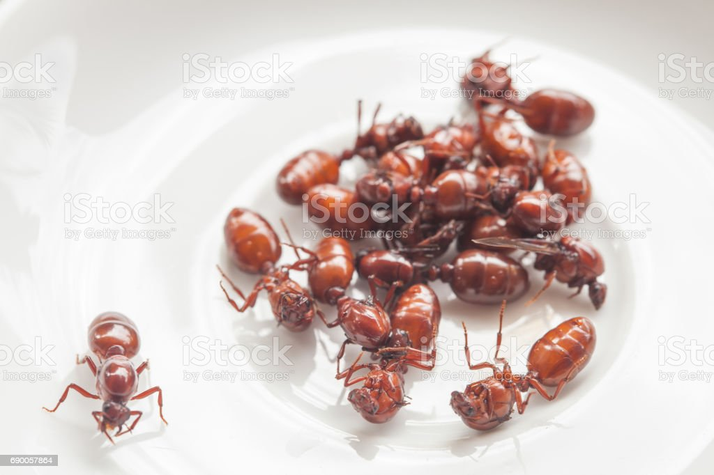 subterranean ants roast is clean food in local cuisine of Thai, Northern style food, Lanna style food stock photo