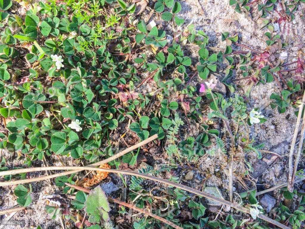 Subterranean clover or trefoil stock photo