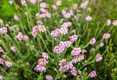 Subtle pale pink blossoming cross-leaved heath from close