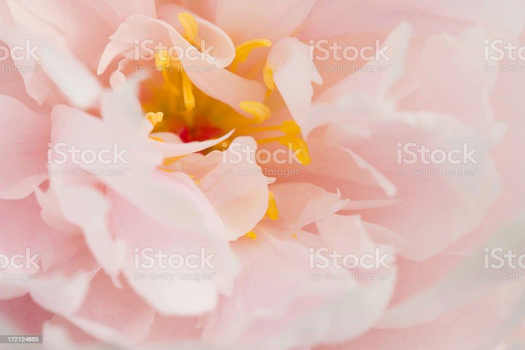 Subtle pastel pink peony stock photo