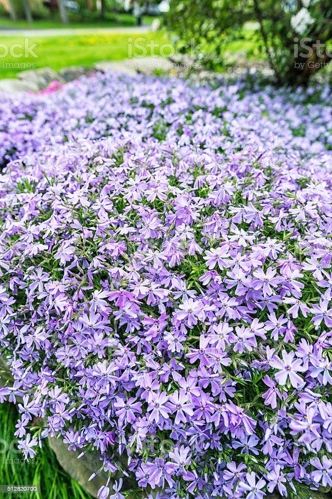 Suburban Garden Purple Woodland Phlox Spring Flower Bed Stock