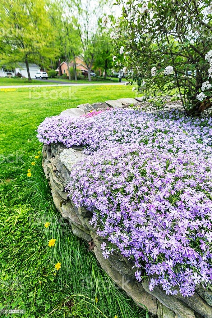 Suburban Neighborhood Purple Woodland Phlox Rock Wall Spring Flower Bed stock photo