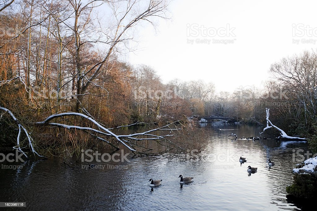 Suburban park lake with snow and geese royalty-free stock photo