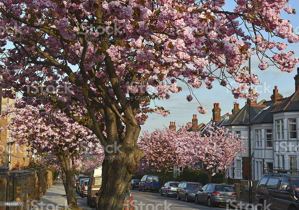Suburban Spring Blossom stock photo