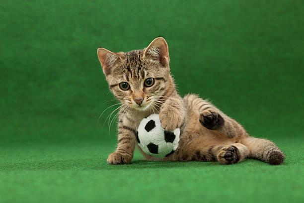 Successful cat goal keeper picture id492604790?b=1&k=6&m=492604790&s=612x612&w=0&h=cr6zzbh7v onueotqyd htlbmixufduj9hyqctkvt9w=
