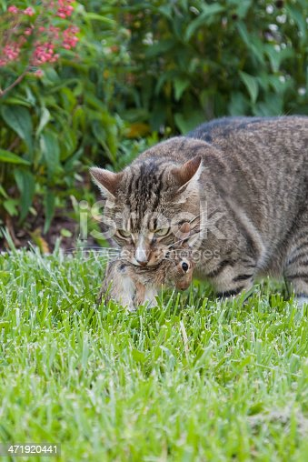 Domestic Cat in the backyard holding a Dead Rabbit in its Mouth
