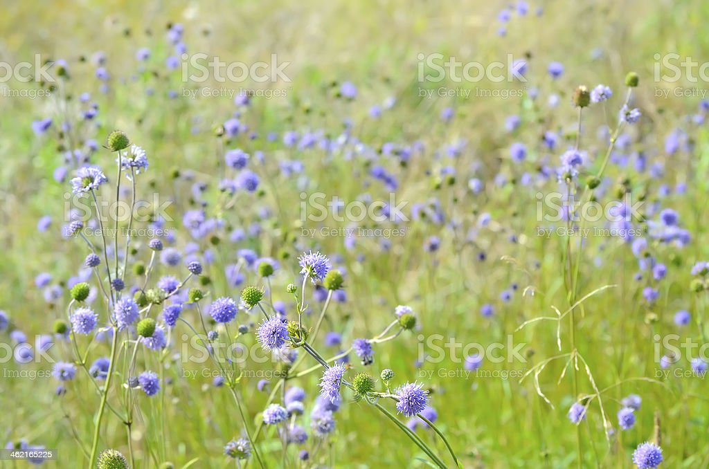 Succisa pratensis flowers on meadow, selective focus stock photo