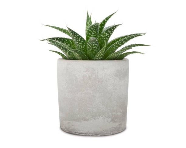 succuent pant in cement pot (met pad) - bloempot stockfoto's en -beelden