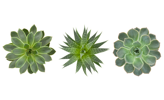 Succulents pants trio isolated on white