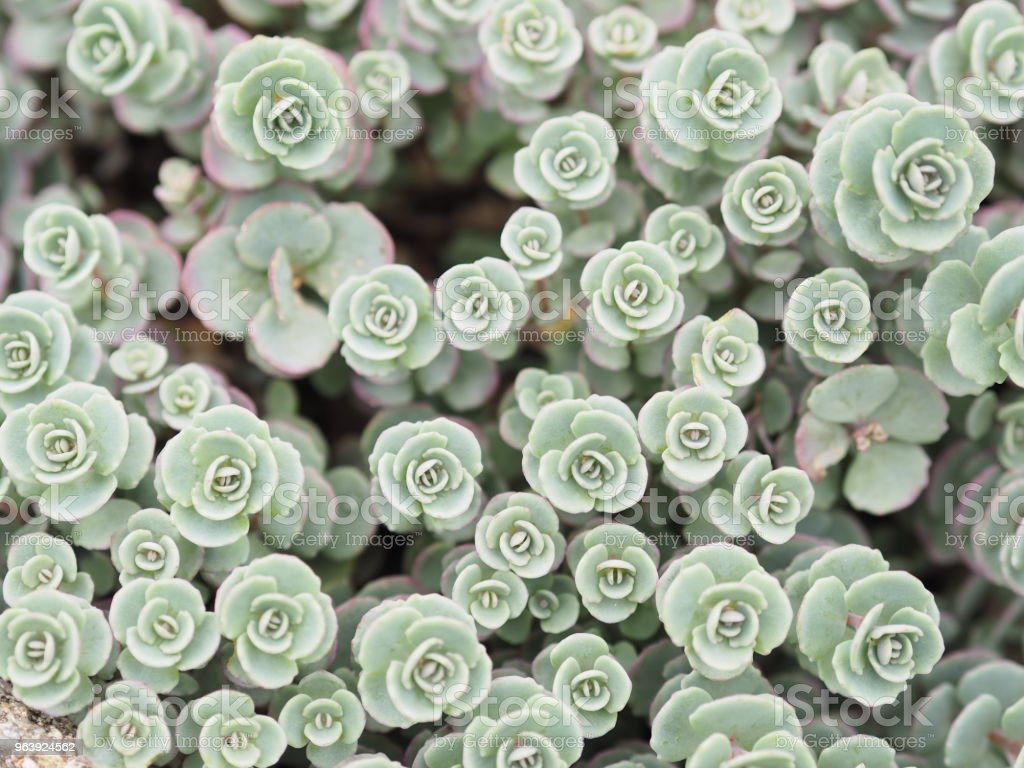 Succulent and succulent plants - Royalty-free Advertisement Stock Photo