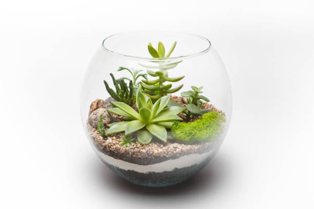saftige anordnung in einer glasvase (terrarium) - terrarienpflanzen stock-fotos und bilder