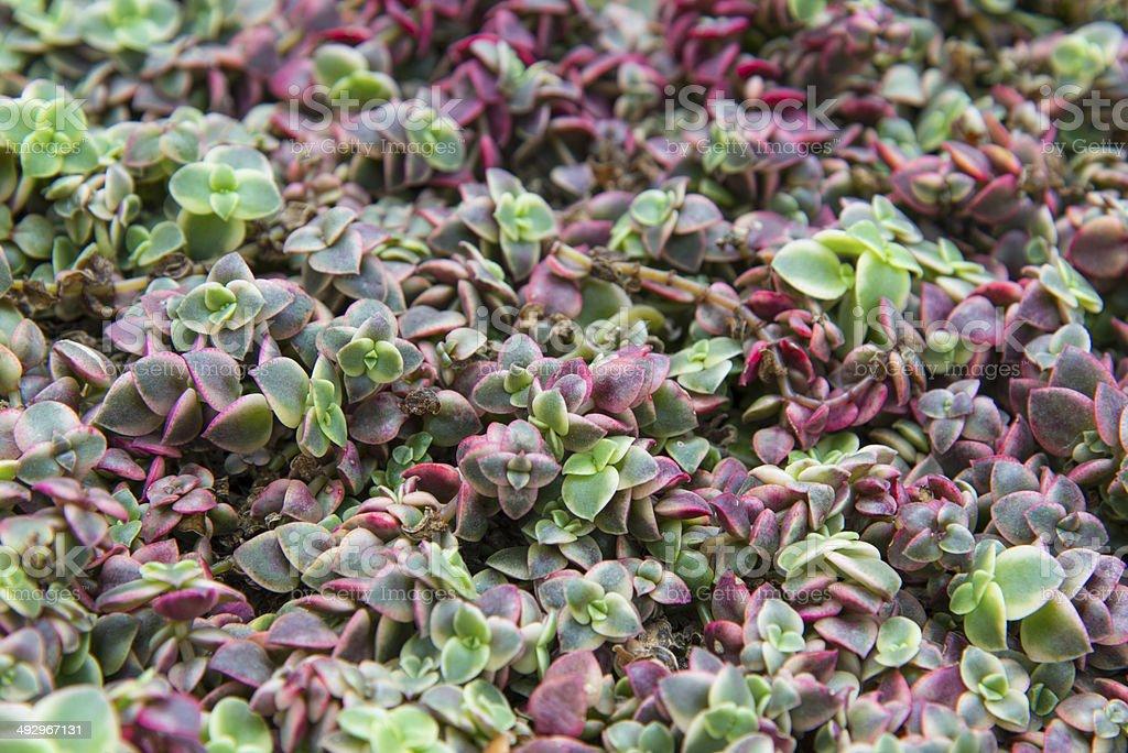 Succulent background stock photo