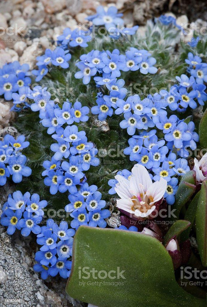 Fiori Blu E Bianchi.Succulente Blu E Bianchi Fiori Di Campo Alpino Fotografie Stock