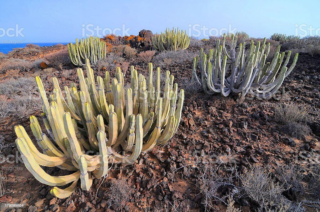 Succulent Cactus Plant  In the Desert royalty-free stock photo