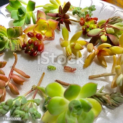 Close up view of succulent cuttings.