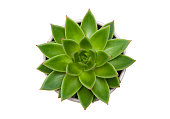 Succulent Echeveria agavoides pot plant isolated on white background