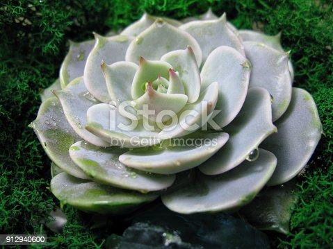 istock Succulent echeveria cactus flower stone rose moss plant macro photo 912940600