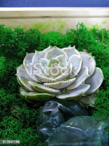istock Succulent echeveria cactus flower stone rose moss plant macro photo 912944186