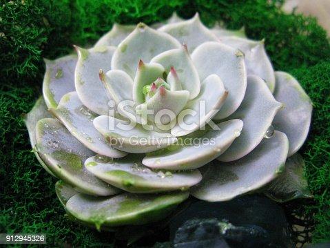 istock Succulent echeveria cactus flower stone rose moss plant macro photo 912945326