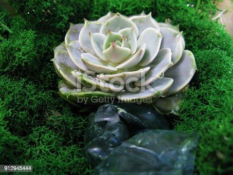 istock Succulent echeveria cactus flower stone rose moss plant macro photo 912945444