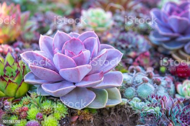 Succulent flowerbeds picture id501281720?b=1&k=6&m=501281720&s=612x612&h=knynpilse7wmzqpdqwsolq1kcdcjtaho9ux0kmcbjhk=
