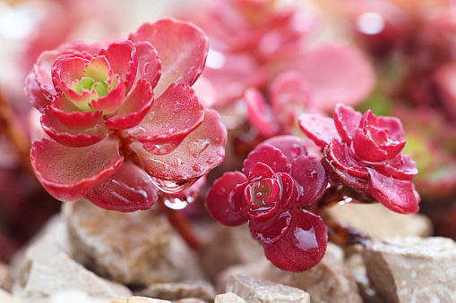 Succulent Garden Cactus Flower Tropical Red Cacti Mini Flowers with Water Drops