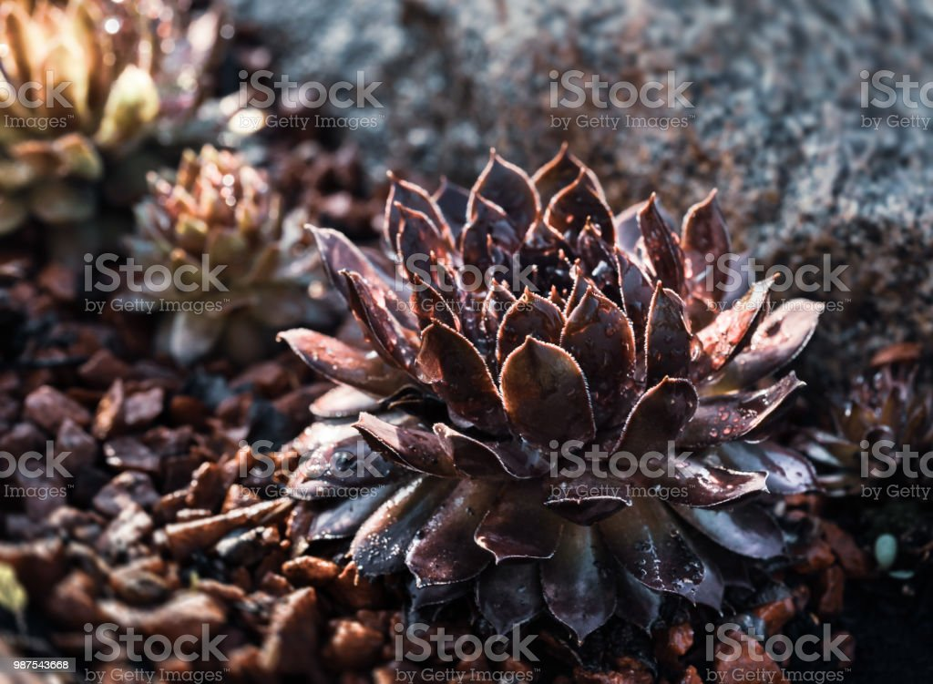 Succulent Growing Among Rocks Stock Photo Download Image Now