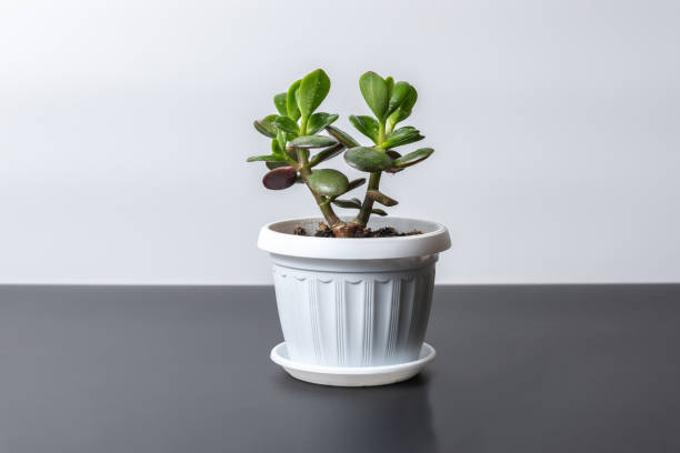 Succulent houseplant Crassula in a pot on a white background Succulent houseplant Crassula in a pot on a white background crassulaceae stock pictures, royalty-free photos & images