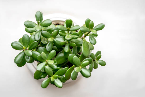 Succulent houseplant Crassula in a pot on a white background Succulent houseplant Crassula in a pot on a white background. View from above crassulaceae stock pictures, royalty-free photos & images