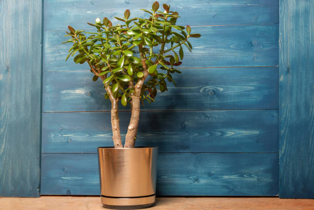 Succulent houseplant Crassula in a pot on a wooden blue background Succulent houseplant Crassula in a pot on a wooden blue background. crassulaceae stock pictures, royalty-free photos & images
