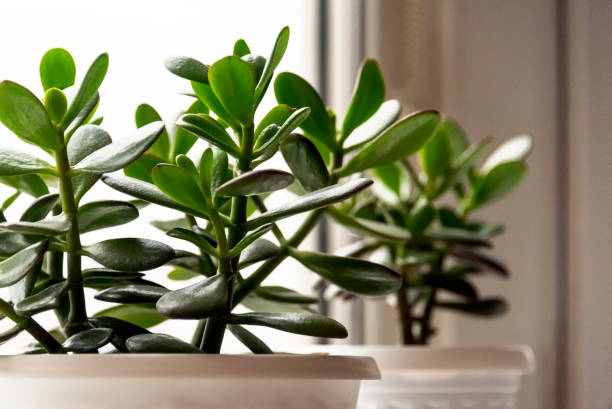 Succulent houseplant Crassula on the windowsill Succulent houseplant Crassula on the windowsill against the background of window crassulaceae stock pictures, royalty-free photos & images