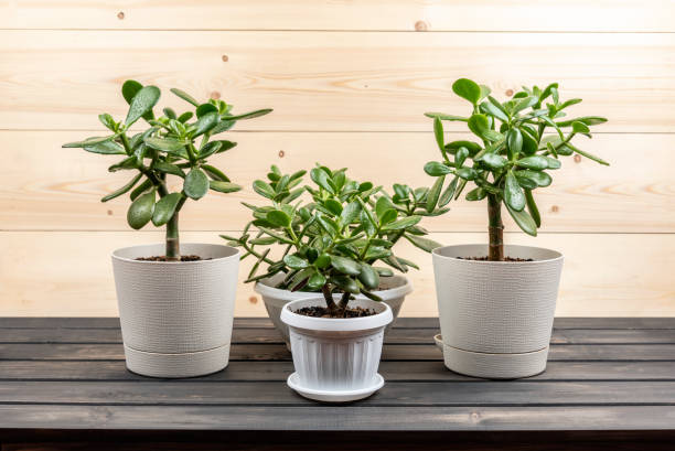 Succulent houseplant Crassula ovata in a pot on rustic background Succulent houseplant Crassula ovata in a pot on rustic background crassulaceae stock pictures, royalty-free photos & images