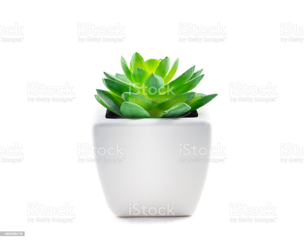 Succulent in Pot stock photo