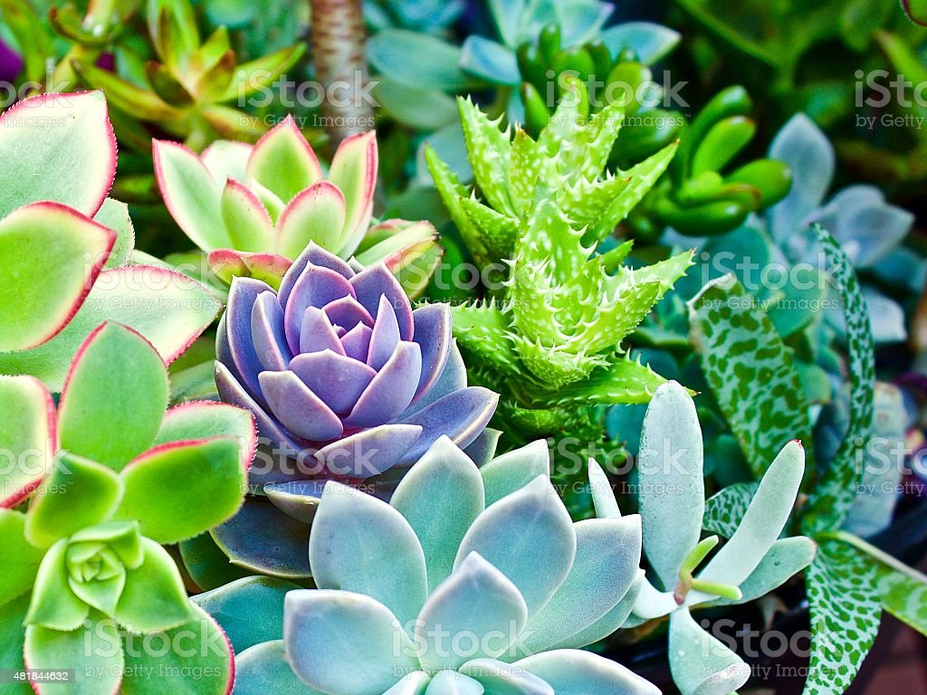 Succulent Oasis stock photo
