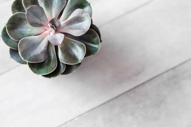 Succulent or cactus pot on gray concrete table stock photo