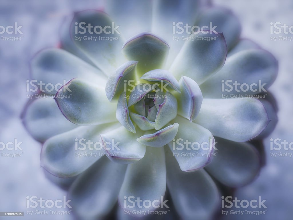 Succulent royalty-free stock photo