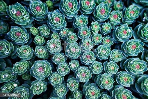 istock Succulent 841488562