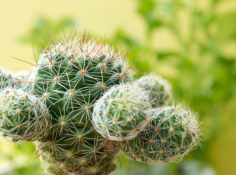 Succulent plant close-up Cactus species Mammillaria gracilis